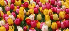 Holandes tulpju dārzi